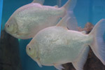 White Silver Fish Couple - Public Domain Pictures
