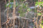 Cobwebs Spider Bush - Public Domain Pictures