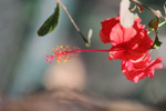 Hibiscus - Public Domain Pictures