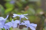Light Blue Flowers - Public Domain Pictures