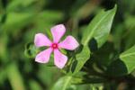 Pink Floral - Public Domain Pictures