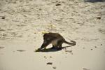 1559-monkey-beach-sands - Public Domain Pictures