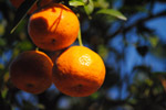 Orange Plants Tree - Public Domain Pictures