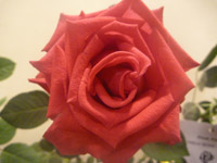 157-nice-rose - Public Domain Pictures