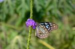 Blue Tiger Butterflies - Public Domain Pictures