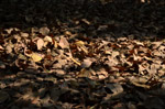 Old Leaves On Ground - Public Domain Pictures