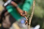 Praying Mantis Insect - Public Domain Pictures