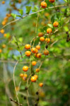 Small Orange Fruit Plant - Public Domain Pictures