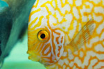 Aquarium Yellow Fish - Public Domain Pictures