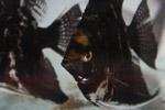 Black Fish - Public Domain Pictures