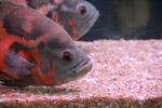 Gray Orange Fish - Public Domain Pictures
