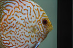 Orange White Fish - Public Domain Pictures