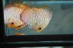 Orange White Fishes - Public Domain Pictures