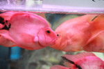 Pink Orange Fish - Public Domain Pictures