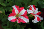 Red White Flowers - Public Domain Pictures