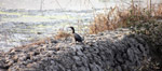 Black Bird - Public Domain Pictures