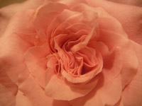Orange Rose - Public Domain Pictures