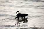 Dog In Water - Public Domain Pictures