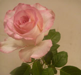 172-pink-flower-rose - Public Domain Pictures