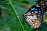 Beautiful Blue Tiger Butterfly - Public Domain Pictures