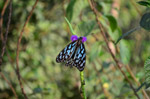 Blue Tiger Butterfly Beauty - Public Domain Pictures