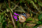 Blue Tiger Butterfly On Flower - Public Domain Pictures