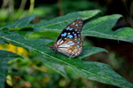 Blue Tiger Butterfly On Leaf 3 - Public Domain Pictures