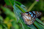 Blue Tiger Butterfly On Leaf 4 - Public Domain Pictures
