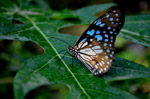 Blue Tiger Butterfly On Leaf 5 - Public Domain Pictures