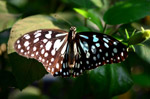 Blue Tiger Butterfly - Public Domain Pictures