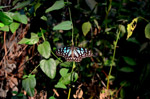 Butterfly Blue Tiger - Public Domain Pictures