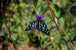 Purple Flower Butterfly Blue Tiger 2 - Public Domain Pictures