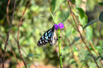 Purple Flower Butterfly Blue Tiger - Public Domain Pictures