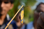 Tiger Butterfly - Public Domain Pictures