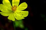 1930-yellow-flower-2 - Public Domain Pictures