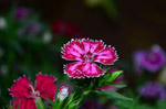 Dianthus Flower - Public Domain Pictures