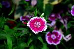 Dianthus - Public Domain Pictures