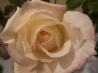 Soft Rose - Public Domain Pictures