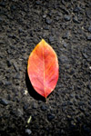 Beautiful Orange Leaf - Public Domain Pictures