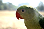 Green Parrot 2 - Public Domain Pictures