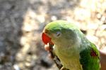 Green Parrot Face - Public Domain Pictures