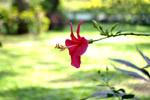 Hibiscus Red - Public Domain Pictures