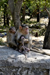 Monkey Mother Babies - Public Domain Pictures