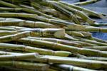 Sugarcane - Public Domain Pictures