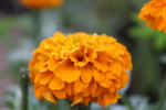 Beautiful Marigold Flower - Public Domain Pictures