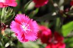 Beautiful Pink Flower Closeup - Public Domain Pictures
