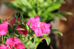 Beautiful Pink Flower Garden - Public Domain Pictures