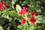 Bunch Of Red Flowers - Public Domain Pictures