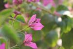 Closeup Of Pink Leaf Flower - Public Domain Pictures