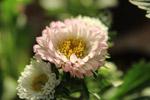 Pale White Flower - Public Domain Pictures